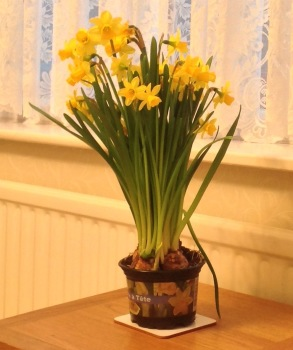 Daffodils from the Mothering Sunday Service at St Helen, Witton this morning