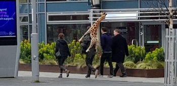 Giraffe theft on a Sunday!